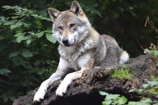 animali in via di estinzione in italia  lupo