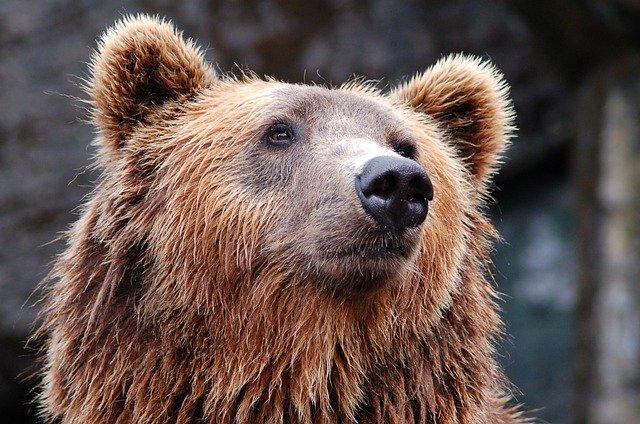 animali in via di estinzione in italia orso bruno marsicano