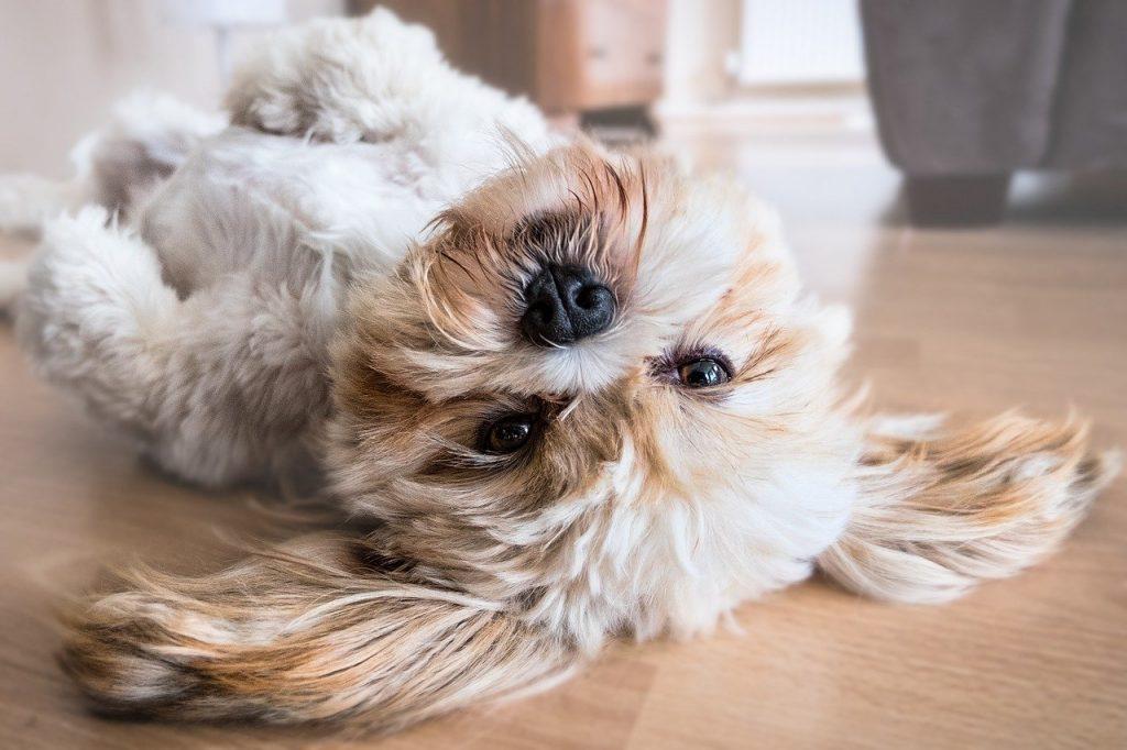 un cane che si mette a pancia in su