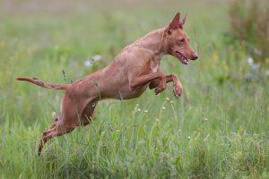 razze di cani italiani cirneco dell'etna