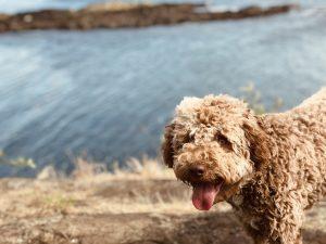 razze di cani italiani lagotto romagnolo