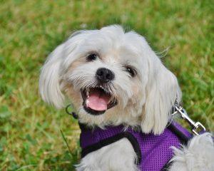 cani italiani maltese cane da compagnia