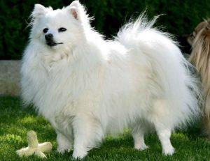 cani italiani volpino razza intaliana