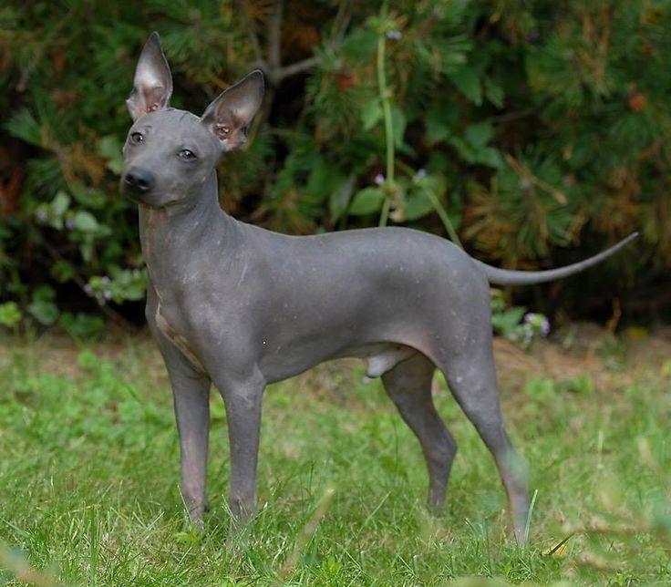 american hairless terrier cani senza pelo