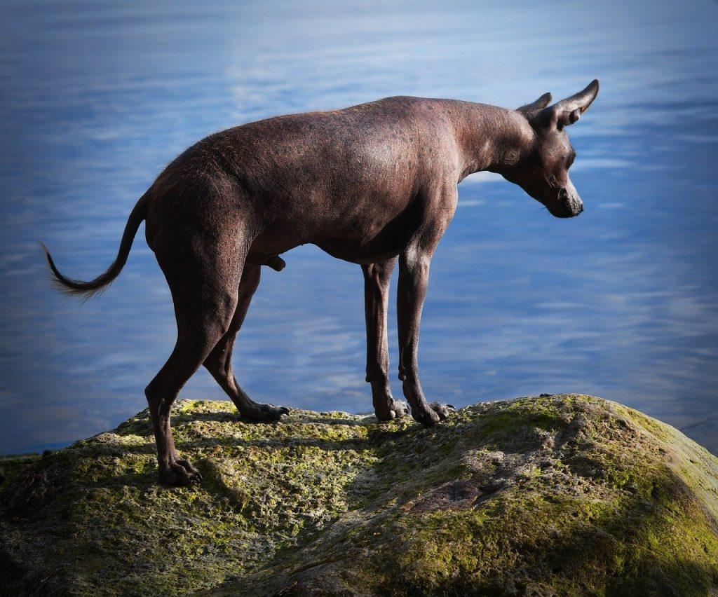 cani senza pelo cane nudo messicano