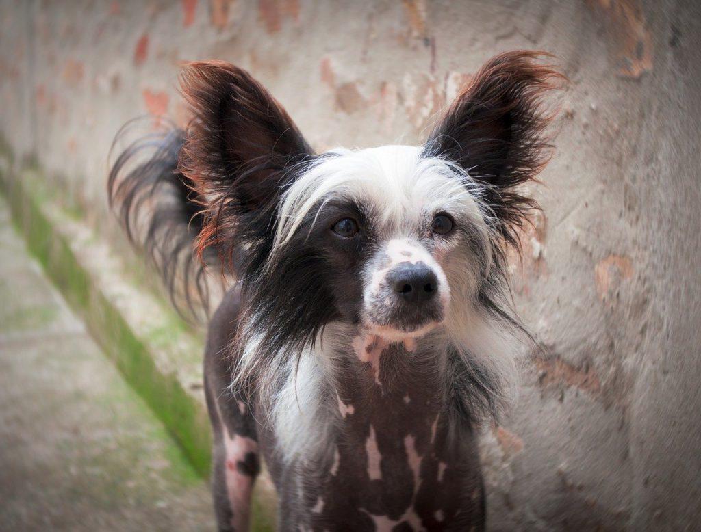 cani senza pelo cane nudo cinese