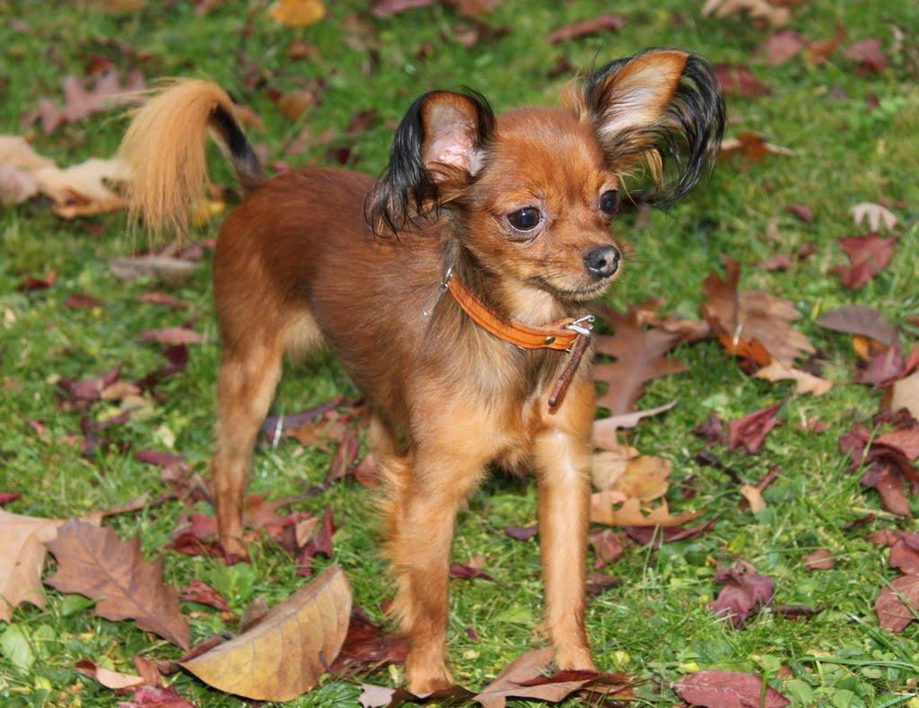 cani che non crescono russian toy