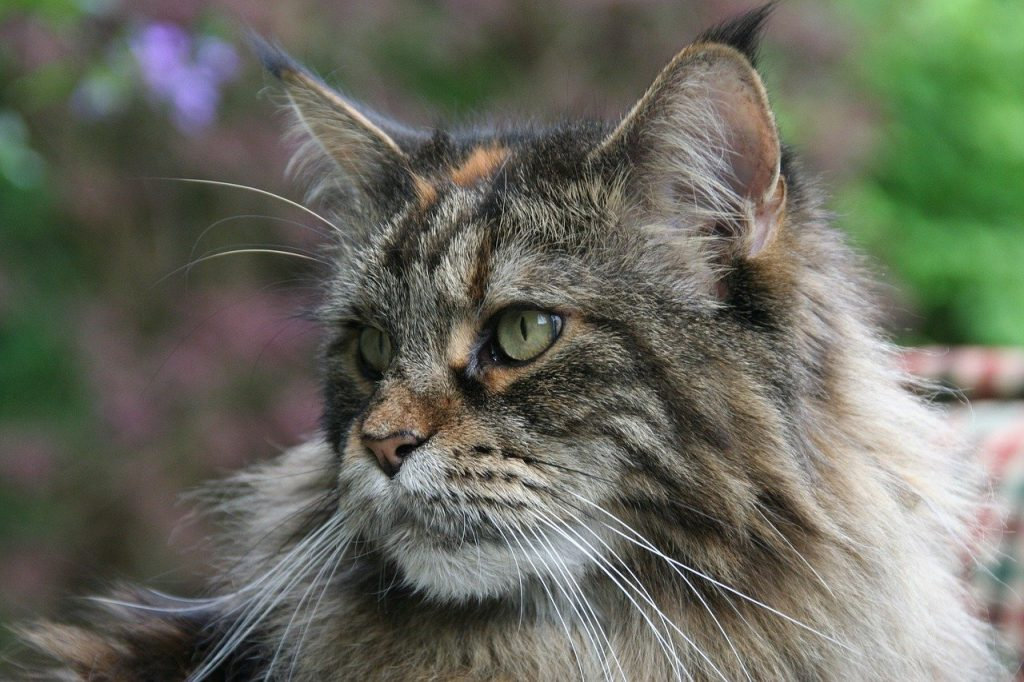 gatti giganti maine coon la razza di gatto più grande del mondo
