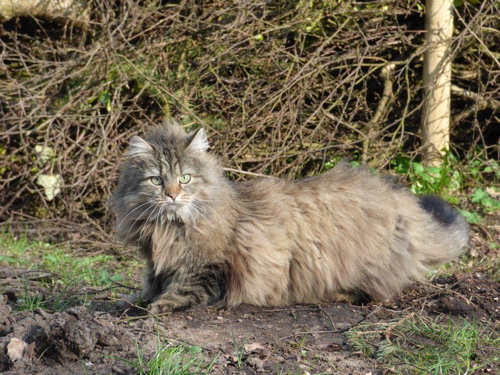 gatti giganti razze di gatti più grandi norvegese