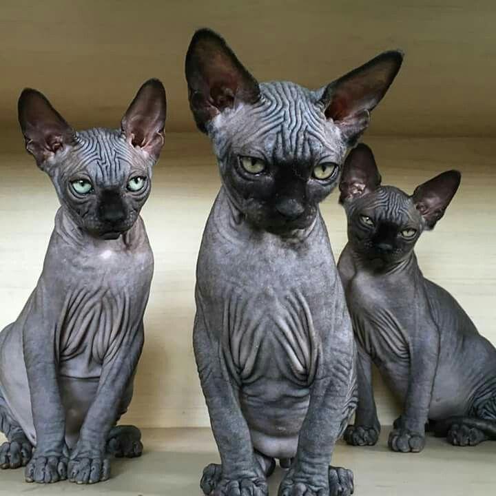 Donskoy razza di gatto senza pelo