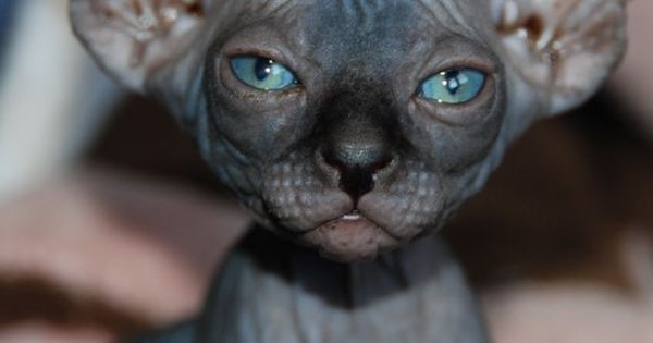 gatti senza pelo ucrainian levkoy