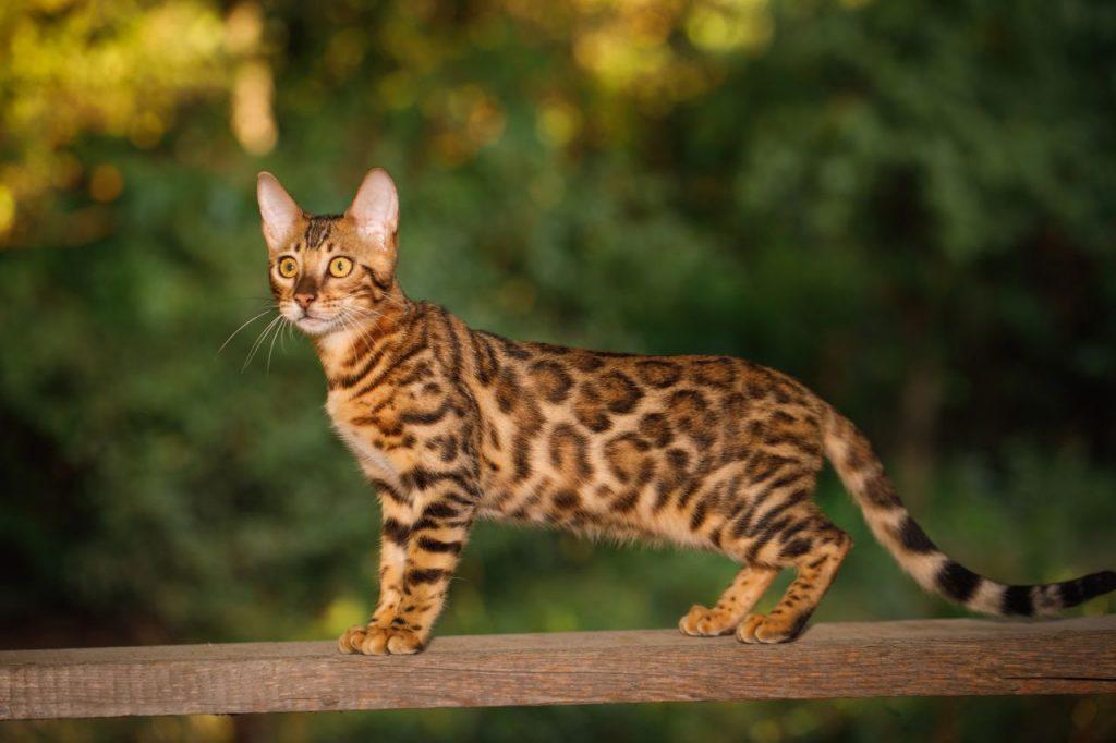gatto bengala razza di gatto anallergico