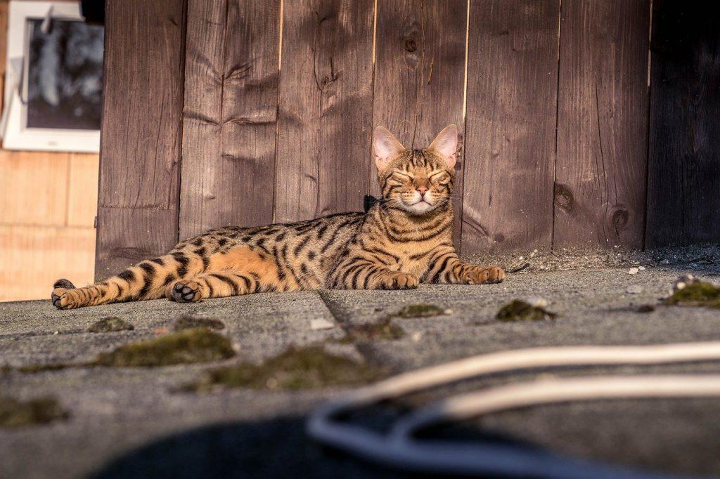 gatto bengala mantello marbled