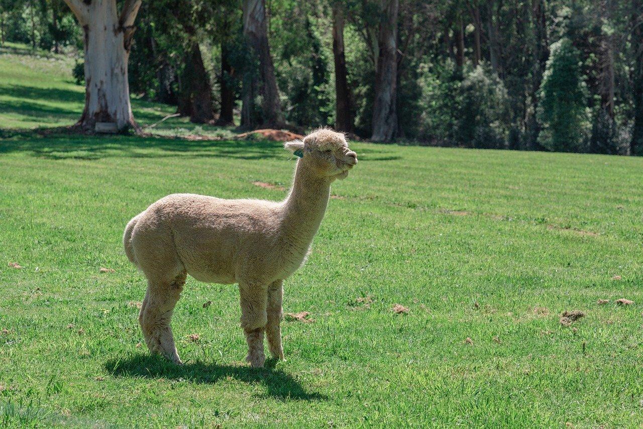 alpaca animali con la a
