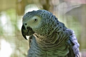 pappagalli parlanti