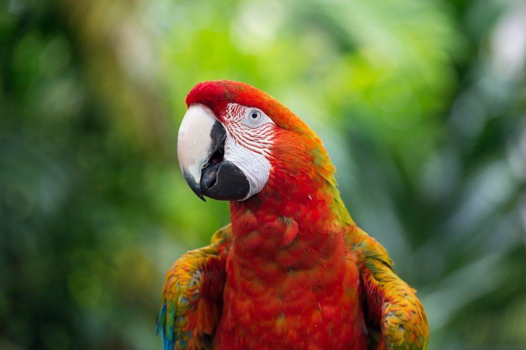 pappagalli parlanti cosa mangiano