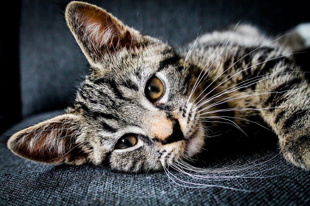 quanto vive un gatto? durata vita media gatto