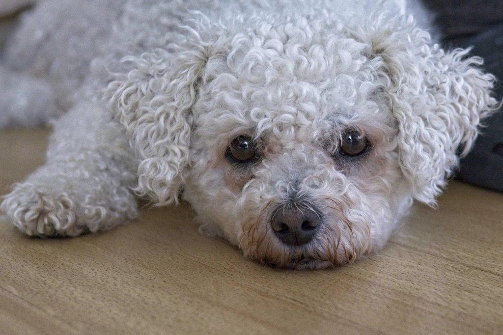 bichon a poil frisé cani da compagnia