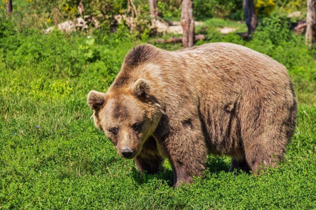 orso bruno animali selvatici
