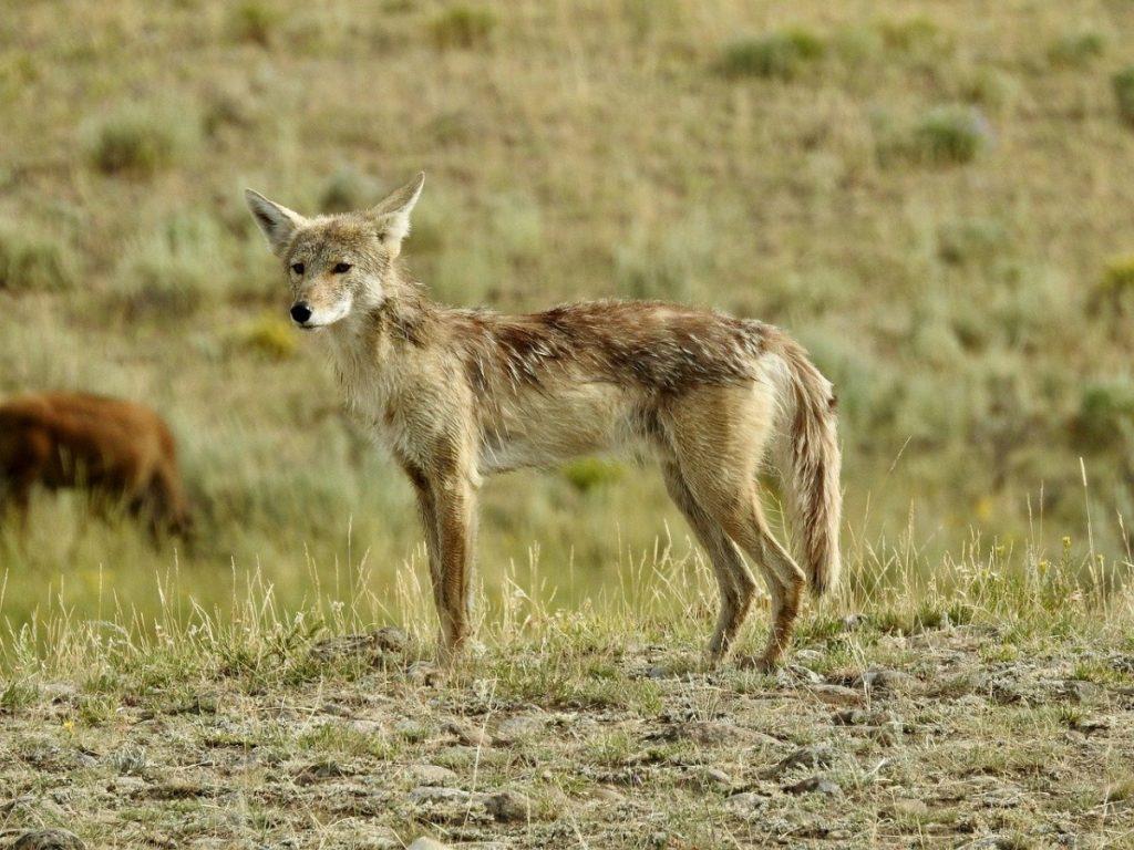 coyote animali che vivono nel deserto