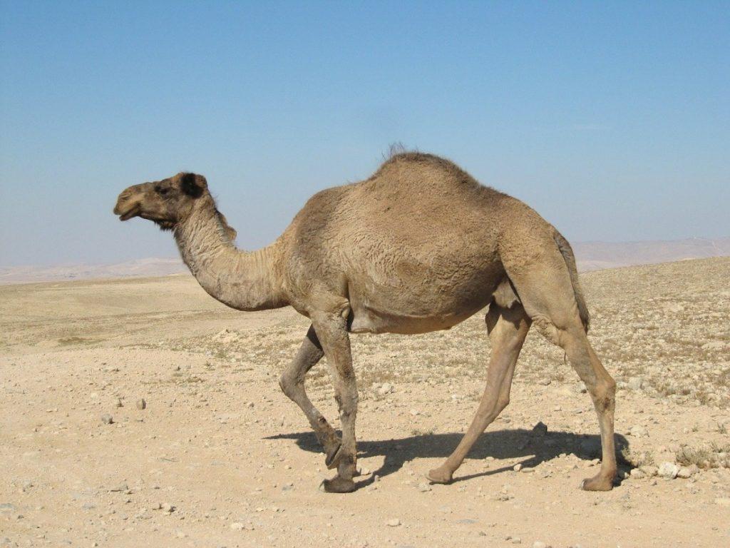 dromedario animali che vivono nel deserto