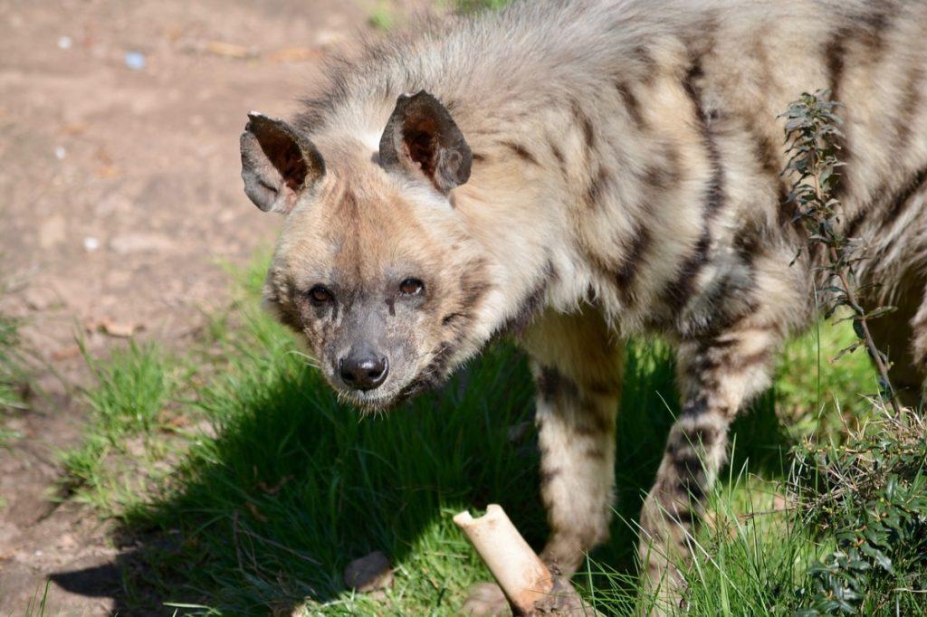 iena animali che vivono nel deserto