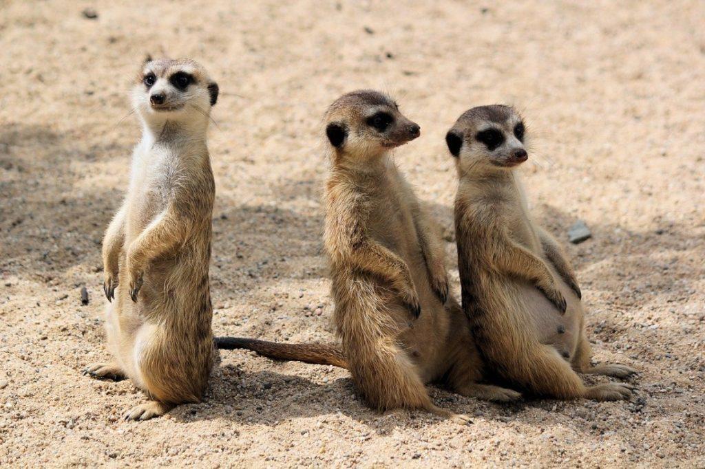 suricati animali che vivono nel deserto