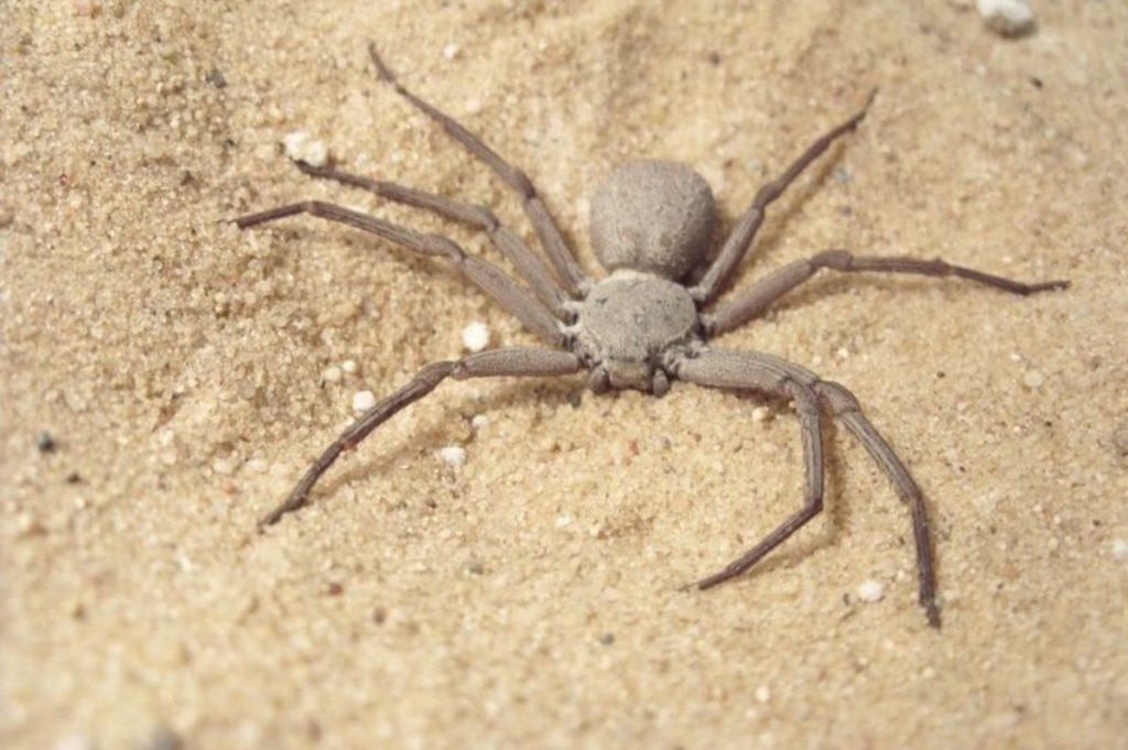 sicarius terrosus animali che vivono nel deserto