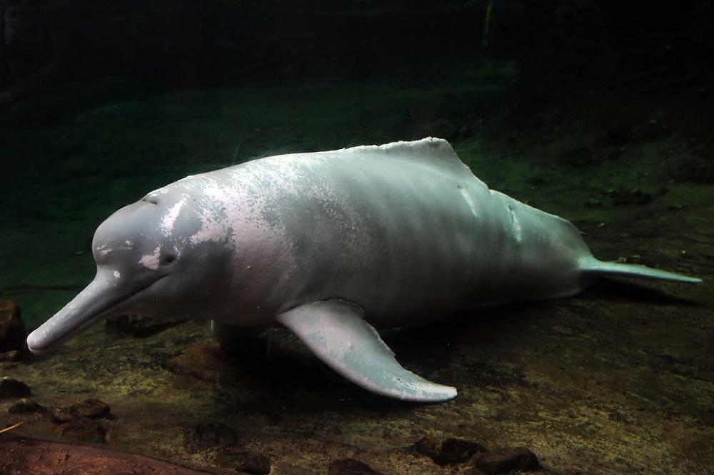 animali in via d'estinzione delfini di fiume