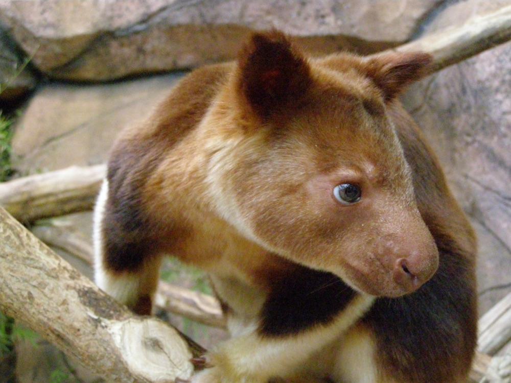 animali in via d'estinzione canguro arboricolo