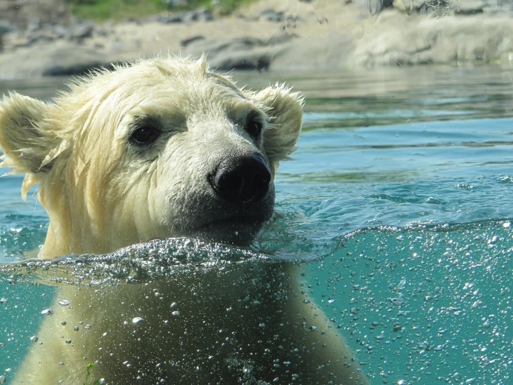 animali in via d'estinzione orso polare