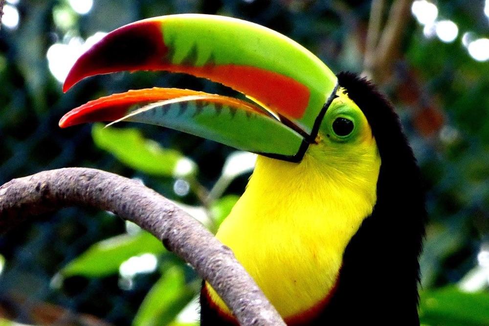 animali in via di estinzione tucano