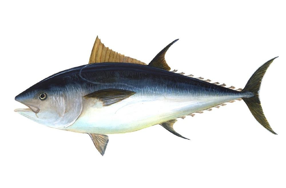 animali in via d'estinzione tonno rosso