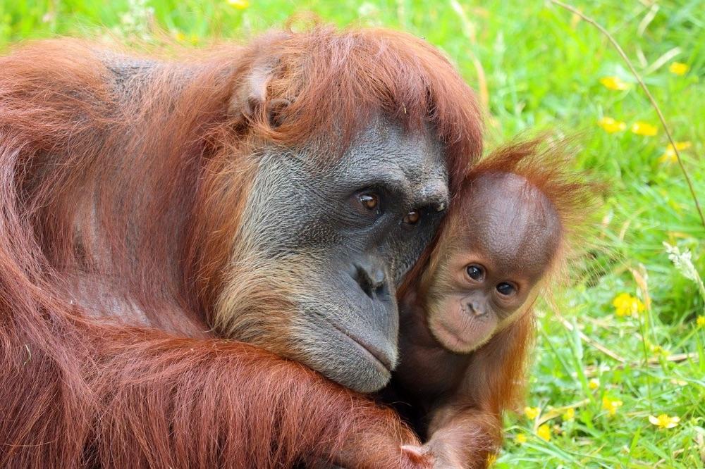 animali in via d'estinzione orango