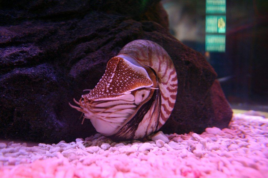 animali con la n nautilus
