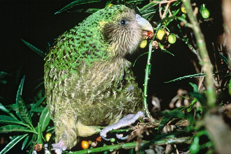 animali stravaganti kakapo