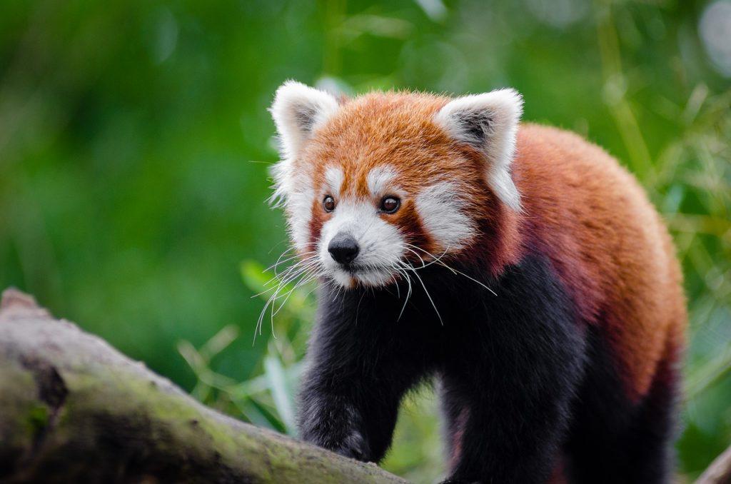 animali stravaganti panda rosso