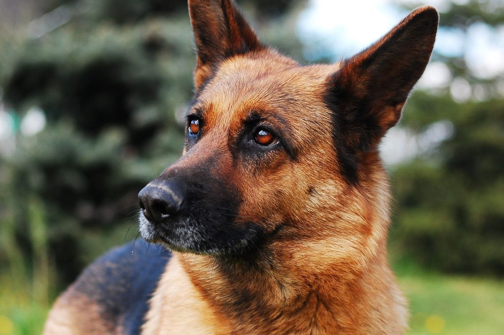 cani da guardia e da difesa pastore tedesco