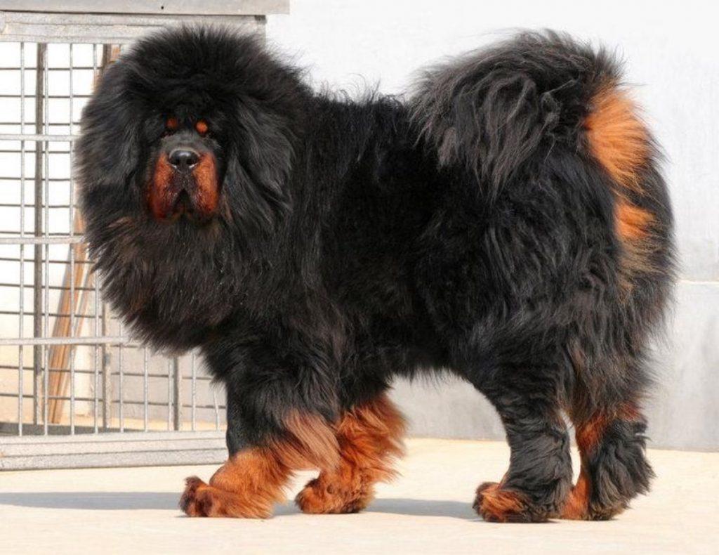 mastino tibetano cani giganti cani cinesi