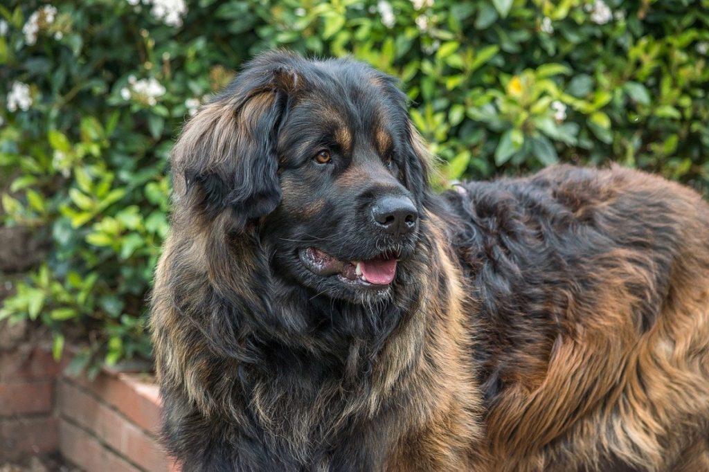 leonberger cani giganti cani tedeschi