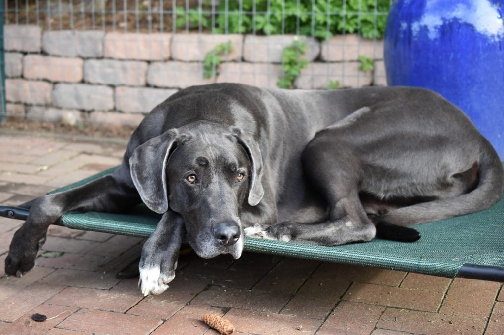 alano cani giganti cani tedeschi
