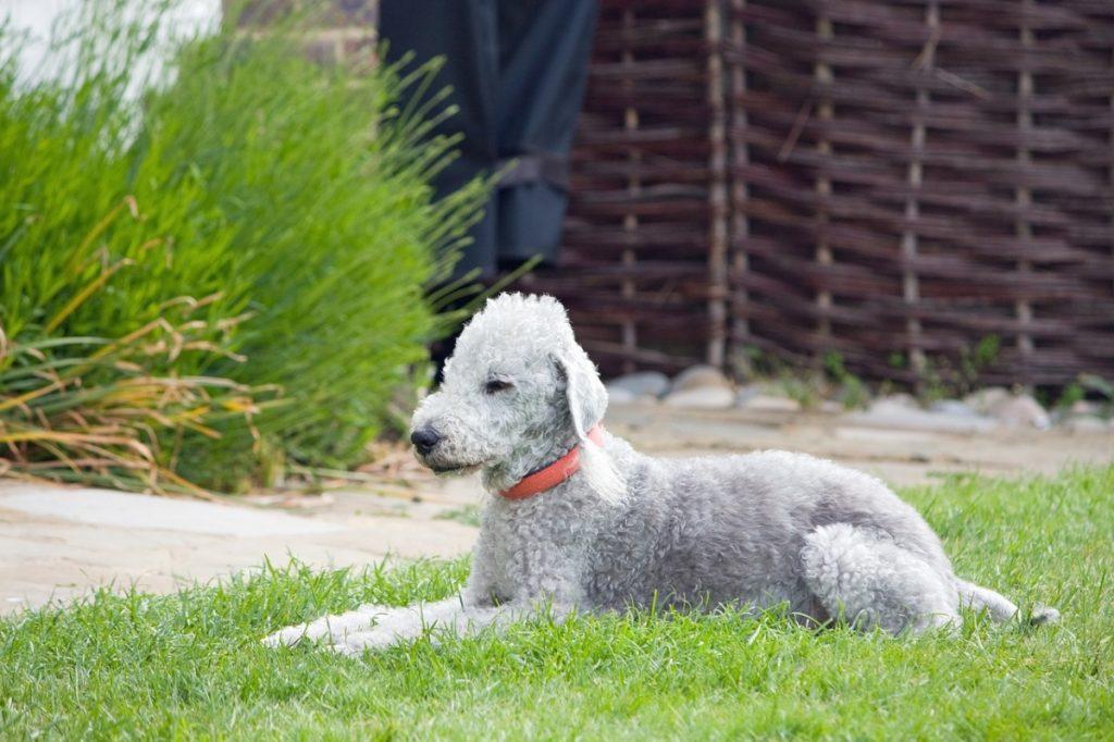 bedlington terrier cani bianchi che non perdono il pelo