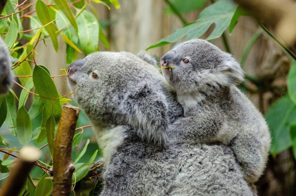 koala con cucciolo che mangia