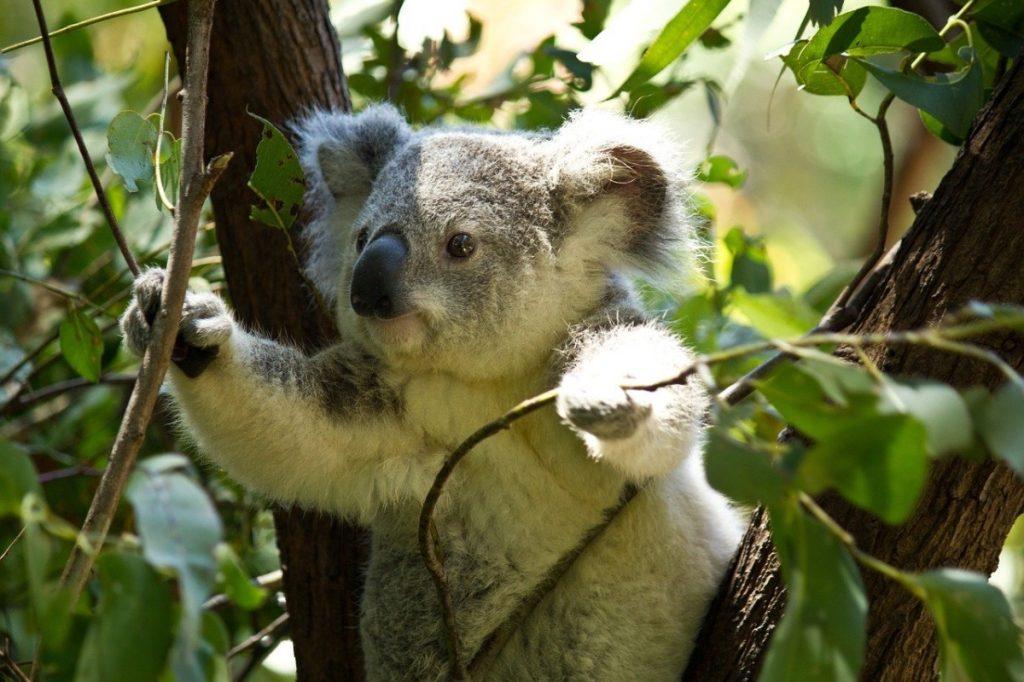 cosa mangiano i koala?