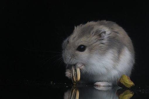criceto roborovski che mangia un seme di girasole