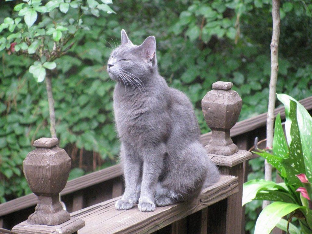 blu di russia razza di gatto anallergico