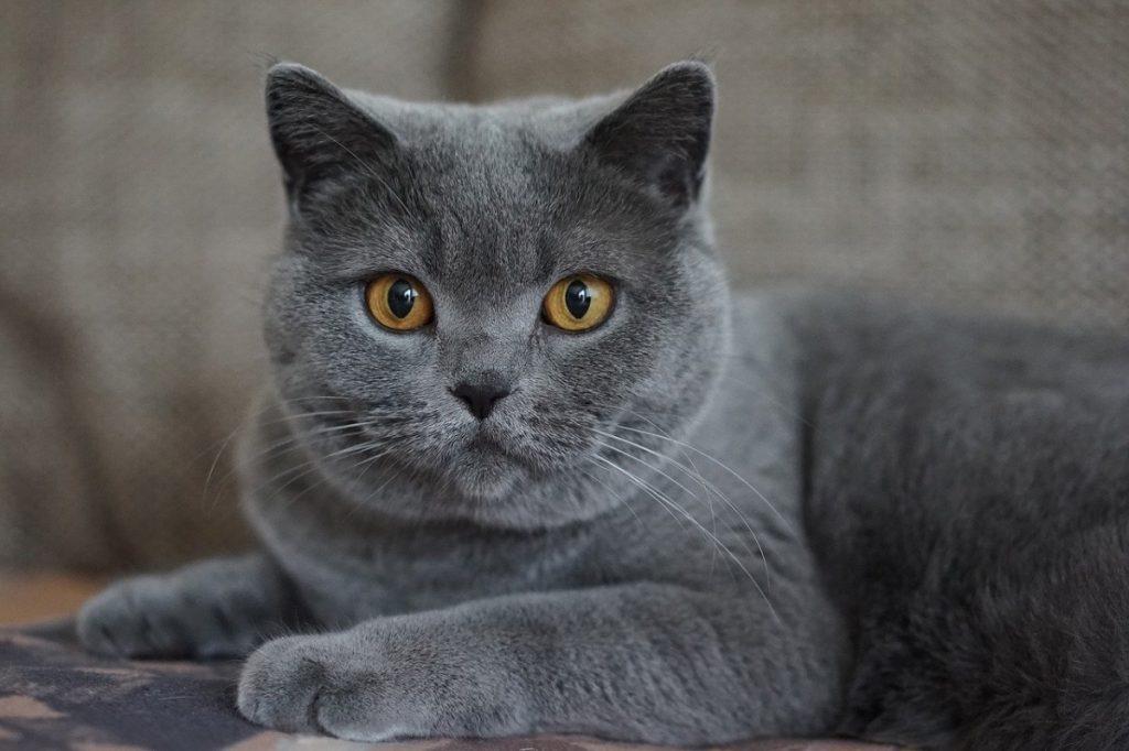 certosino razze di gatti grigi