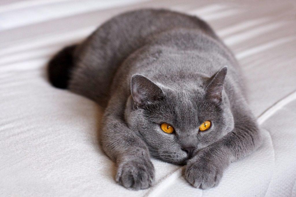 british shortair razze di gatti grigi