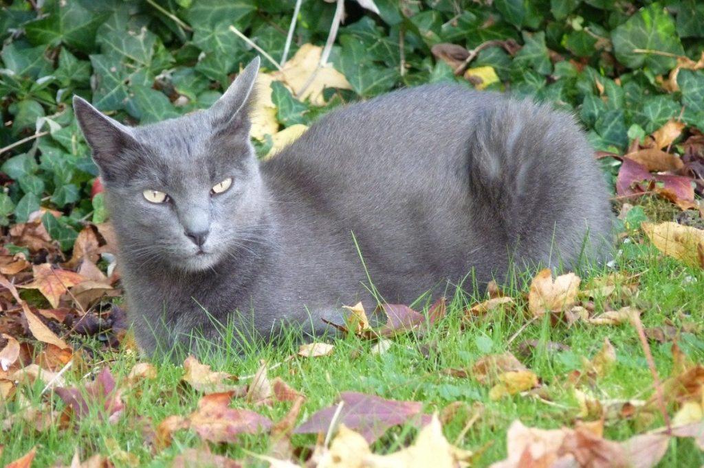 korat razze di gatti grigi