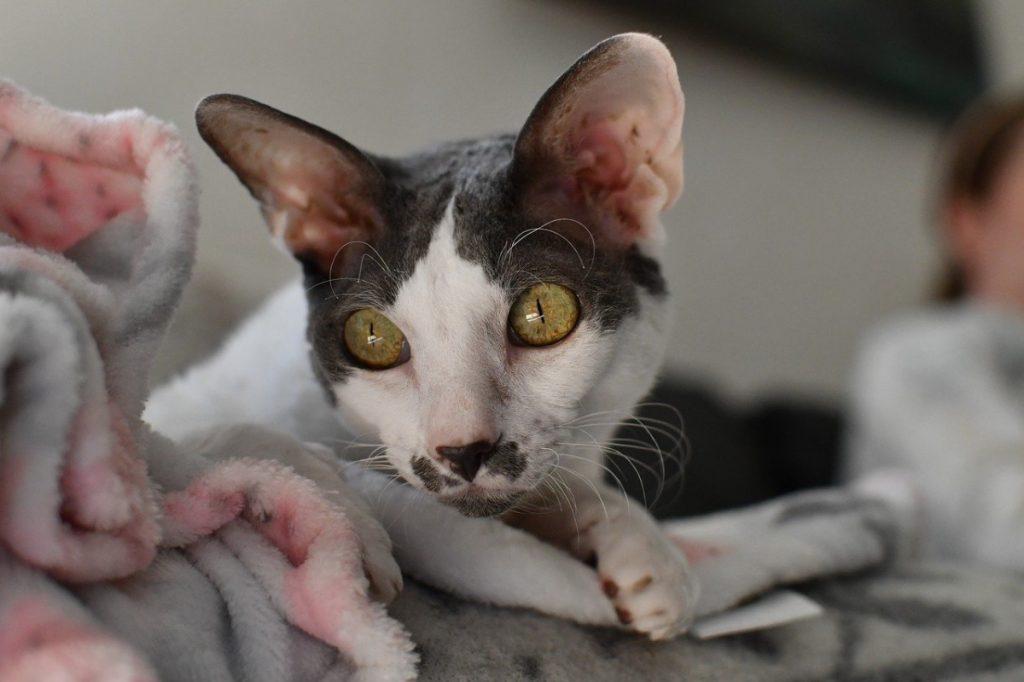 Cornish Rex razze di gatti anallergici
